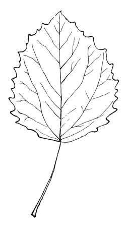 An aspen is a tall tree with leaves that move a lot in the wind, vintage line drawing or engraving illustration. Stock Illustratie