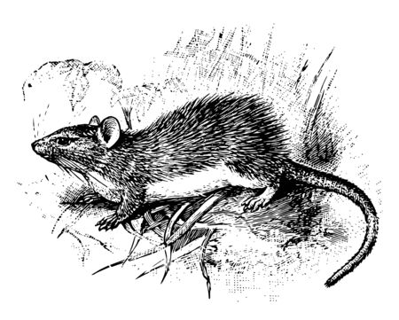 Guyenne Spiny Rat is a rodent in the Echimyidae family of spiny rats, vintage line drawing or engraving illustration. Ilustrace