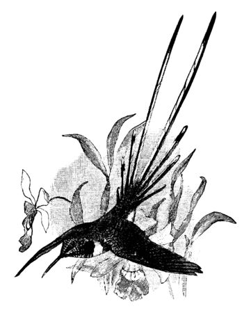 Peruvian Sheartail is a hummingbird in the Trochilidae family of hummingbirds, vintage line drawing or engraving illustration.