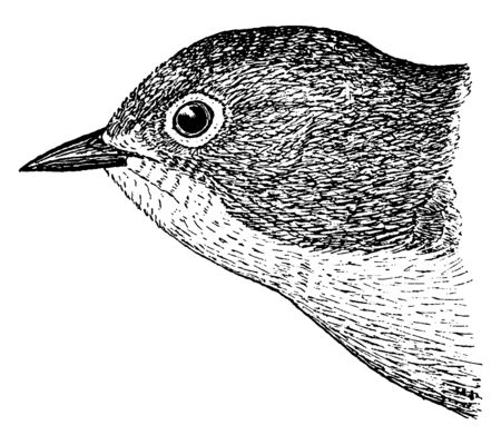 Nashville Warbler is a small songbird in the New World warbler family, vintage line drawing or engraving illustration.