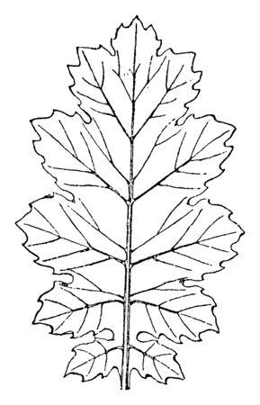 Leaf of Akanthos Mollis has broad tips to the leaves, vintage line drawing or engraving illustration.