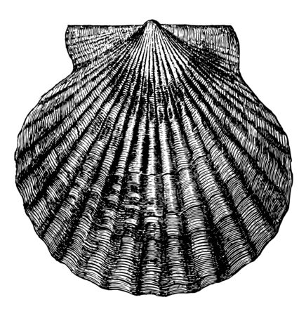 Atlantic Bay Scallop is the common scallop of the Atlantic coast, vintage line drawing or engraving illustration. Çizim