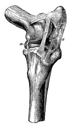 Stifle Joint Ligaments where internal lateral femoro tibial ligament is present, vintage line drawing or engraving illustration.