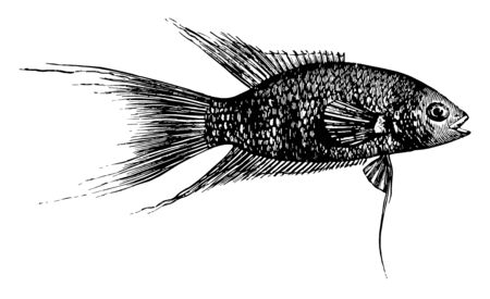 Paradise Fish is a labyrinth fish in the Osphronemidae family of gouramies, vintage line drawing or engraving illustration.