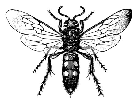 Scoliid Wasp which is tend to be black often marked with yellow or orange, vintage line drawing or engraving illustration.  イラスト・ベクター素材