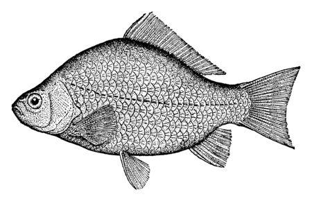Crucian Carp sa membre de taille moyenne de la famille des carpes communes Cyprinidae, dessin de ligne vintage ou illustration de gravure.