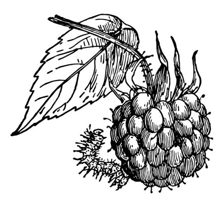 Raspberry Spanworm is the larva of a species of Geometer moth, vintage line drawing or engraving illustration.