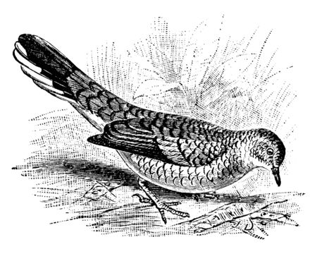 Scaly Ground Dove is a species of New World doves in the Columbidae family, vintage line drawing or engraving illustration.