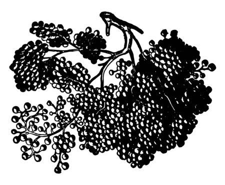 This illustration represents Compound Racemose Gland, vintage line drawing or engraving illustration. Çizim