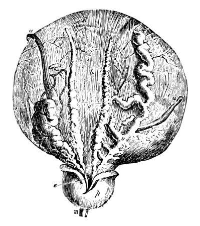 Diese Abbildung stellt Blase und Prostata, Vintage-Linien-Zeichnung oder Gravurdarstellung dar. Vektorgrafik