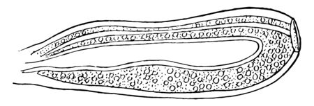 This image represents Athorybia Gonophore, vintage line drawing or engraving illustration.
