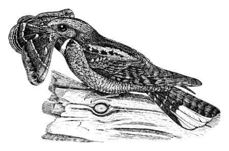 This image represents Whip poor will, vintage line drawing or engraving illustration.