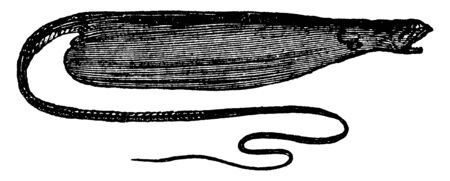 Bottlefish is a strange looking fish that grows up to 6 feet in length, vintage line drawing or engraving illustration.