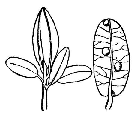 Cranberry leaf with eggs of Rhopobota species, vintage line drawing or engraving illustration.