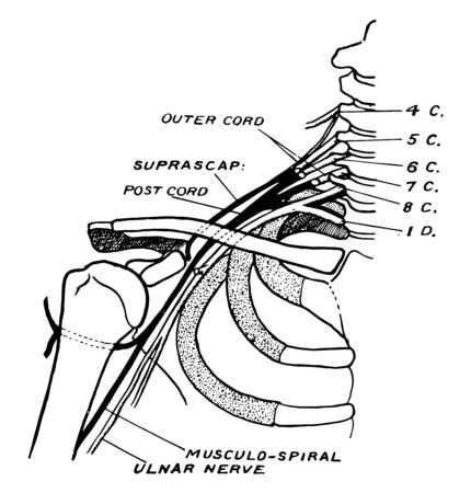 This illustration represents Nerves of the Shoulder, vintage line drawing or engraving illustration. Ilustracja