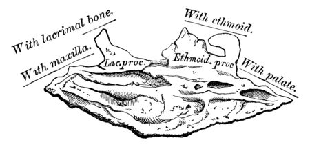 This illustration represents Internal Surface of Turbinated Bone, vintage line drawing or engraving illustration. Ilustrace