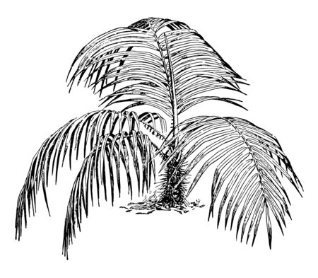 In this image the trunk of the acanthophoenix crinita tree is fifty to sixty feet tall. The leaves are seven to thirteen feet long, vintage line drawing or engraving illustration. Illustration