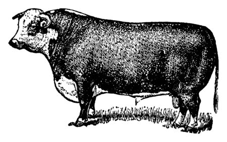 Hereford Bull is used for reproduction of cattle and for beef, vintage line drawing or engraving illustration.