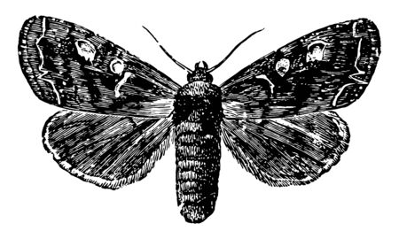Potherb Moth where the body is thick and heavy, vintage line drawing or engraving illustration.