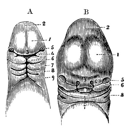 This illustration represents Head of an Embryo, vintage line drawing or engraving illustration.