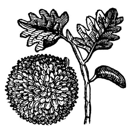 In this frame, there is a tree called Breadfruit, which he considers to be another species of jackfruit, vintage line drawing or engraving illustration.