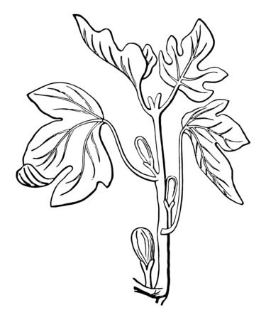 A picture of Fig plant with budding Fig in it, vintage line drawing or engraving illustration. Иллюстрация