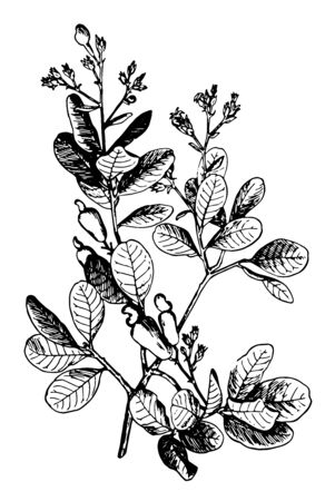 In this image the flowers are rosy tinted and fragrant. The nut is kidney shaped or heart shaped, vintage line drawing or engraving illustration.