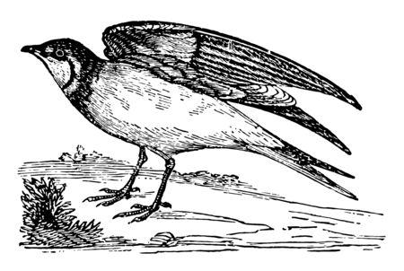Pratincole lives in flocks on the banks of the Danube, vintage line drawing or engraving illustration.