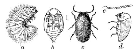 Cigarette Beetle is an insect very similar in appearance to the drugstore beetle and the common furniture beetle, vintage line drawing or engraving illustration.