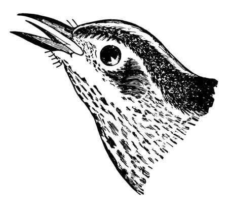 This illustration represents Black and White Creeping Warbler, vintage line drawing or engraving illustration.