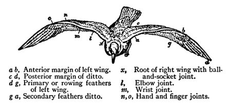 Elastic Spiral Wings of the Gull where an anterior margin of the left wing, vintage line drawing or engraving illustration.