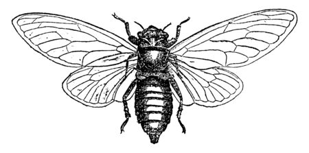Cicada Septendecim is native to Canada and the United States, vintage line drawing or engraving illustration.