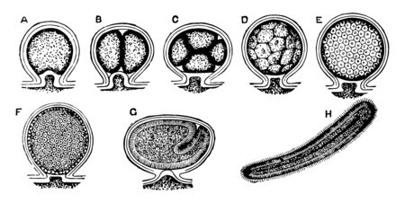 Laomedea in which the planula enclosed in the maternal tissues, vintage line drawing or engraving illustration. Çizim