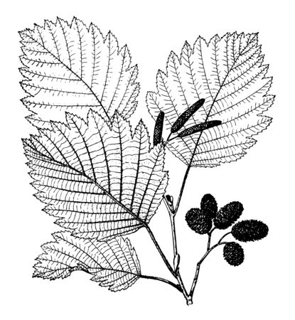 In this frame there is the Alnus Ticchorea tree and the leaves are thorny and sharp. And it has started to grow like a conch shell, vintage line drawing or engraving illustration.
