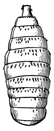 Botfly Larva is nourished by the blood and lymph of the host until the following spring, vintage line drawing or engraving illustration.