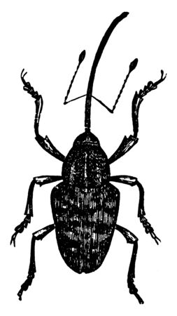 Chestnut Weevil is of quite large size, vintage line drawing or engraving illustration. Ilustração