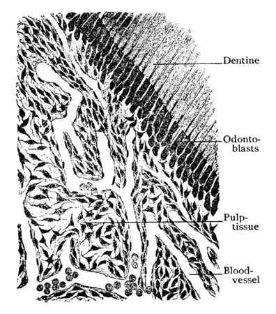 This illustration represents Section of Pulp Tissue of Tooth, vintage line drawing or engraving illustration.
