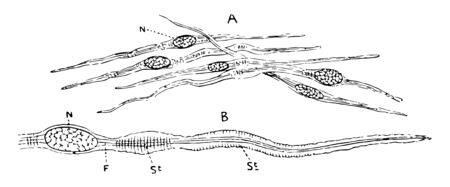 Unstriped muscle forms the proper muscular coats, vintage line drawing or engraving illustration. Фото со стока - 133005294