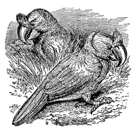 This image represents Crested Parrot of Mauitius, vintage line drawing or engraving illustration.