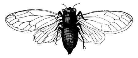 Cicadas are a superfamily the Cicadoidea of insects in the order Hemiptera, vintage line drawing or engraving illustration. Ilustração