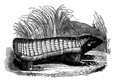 Chlamphorus is the smallest of the armadillos and their covering is more simple in its construction, vintage line drawing or engraving illustration. Illustration
