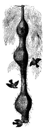 Nests of the Bengal weaver bird which adds a new one to the bottom of the previous season every year, vintage line drawing or engraving illustration.