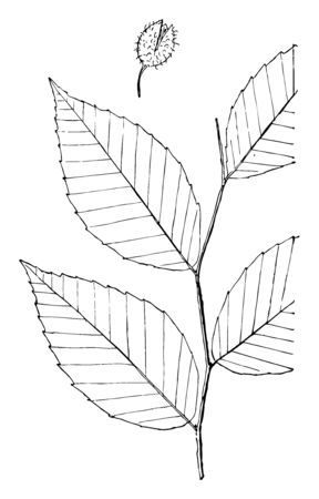 Leaves - simple alternate edge sharp-toothed, with small and remote teeth. Outline - oval or egg-shape. Apex - taper-pointed. Base - rounded, vintage line drawing or engraving illustration. Illusztráció