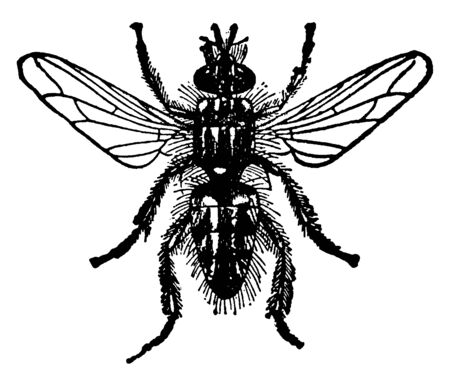 Blow Fly is the name popularly given to such two winged flies, vintage line drawing or engraving illustration.