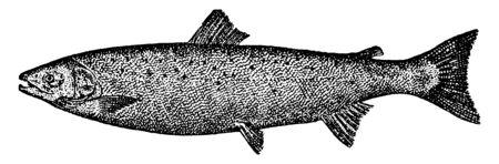 Atlantic Salmon is a migratory fish, vintage line drawing or engraving illustration. Иллюстрация