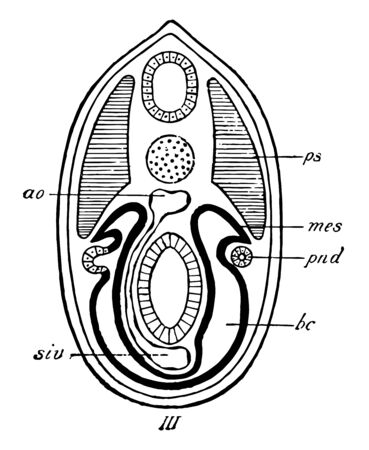 The origin of the mesonephric tubules is seen and they arise from the upper part of the lateral plate which is now completely separated from the primitive segment, vintage line drawing or engraving il