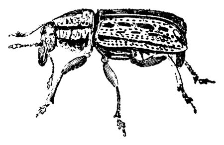 This image represents Anthribus Latirostris, vintage line drawing or engraving illustration.