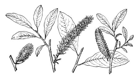 In this image branch of Alaska Willow also known as Salix alaxensis. The branch of an Alaska Willow tree is species of willow, vintage line drawing or engraving illustration.