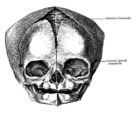 This illustration represents Skull at Birth from Before, vintage line drawing or engraving illustration.  イラスト・ベクター素材