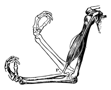 This illustration represents The Biceps Muscle and Arm Bones, vintage line drawing or engraving illustration. Ilustração